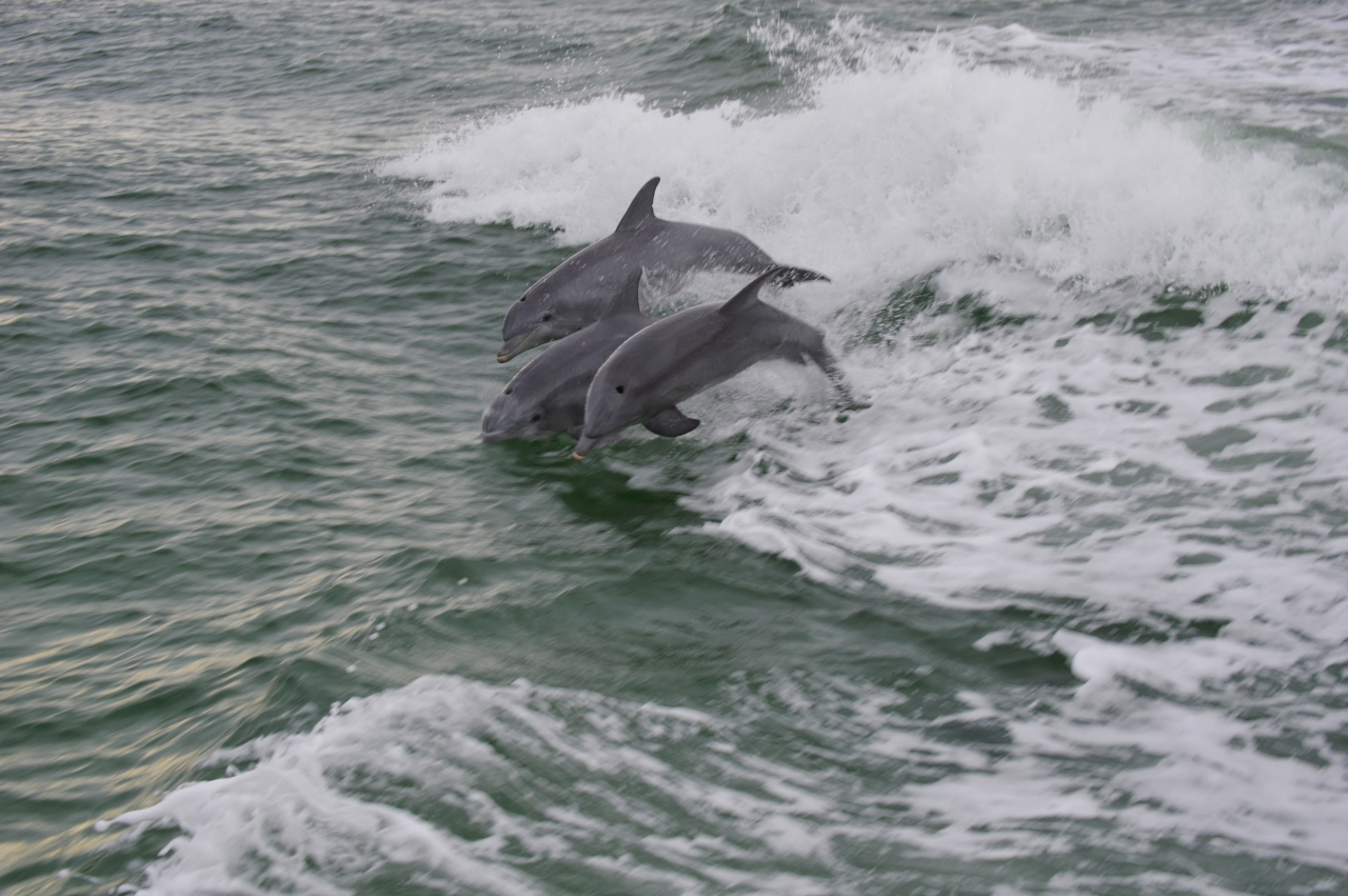three-dolphins-flying-through-the-water